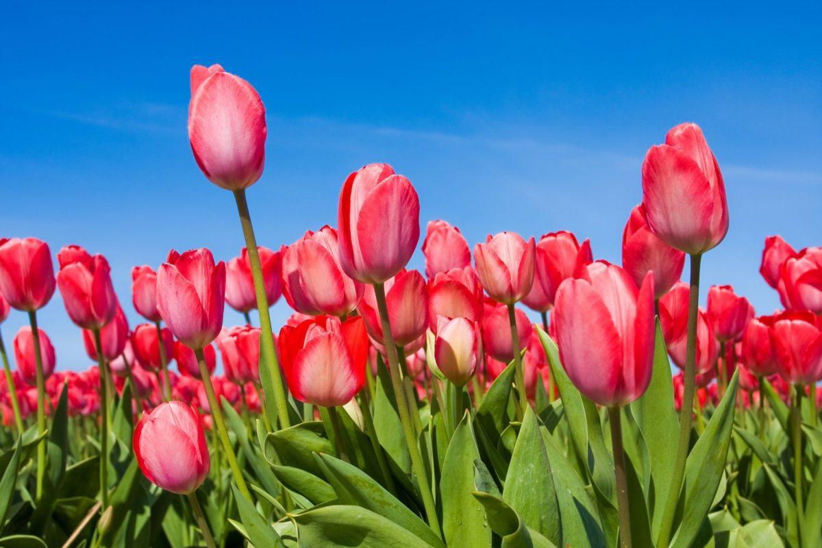 tyulpany-cvety-tulips-butony-vesna-nebo